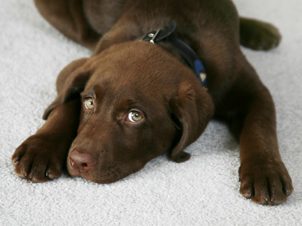 Dog lying on carpet